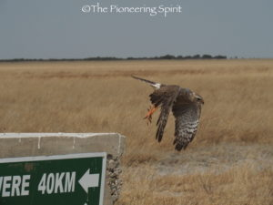 Gaber Goshawk in the Central Kalahari