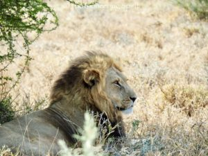 A male lion in the Central Kalahari