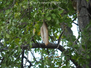 The sausage of the Sausage Tree