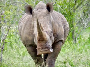 a rhino out for a walk